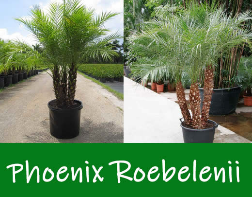 phoenixrobellini.jpg